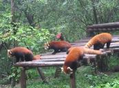 The elusive red panda