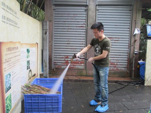 Panda man washing bamboo.